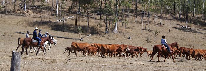 Mehrere Work and Travel Teilnehmer treiben eine Rinderherde im Gelände