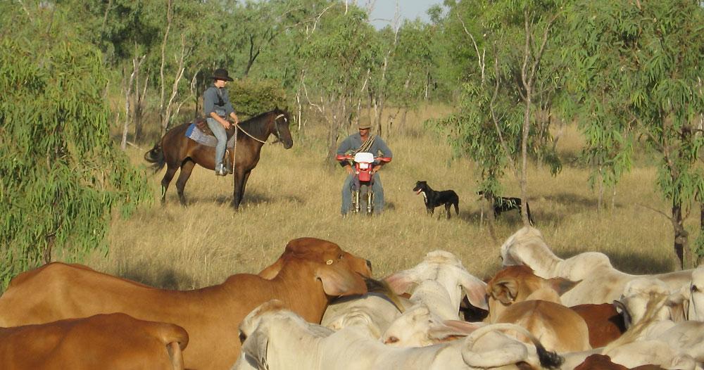 Farmarbeit: Viehtrieb mit Pferd, Bike und Hund