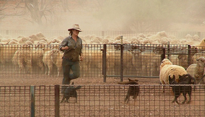 Farmarbeit pur: ein Cowgirl treibt Schafe in den Pferch