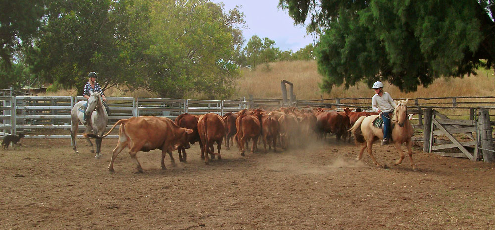 Rinder werden sortiert und in einen Pferch getrieben